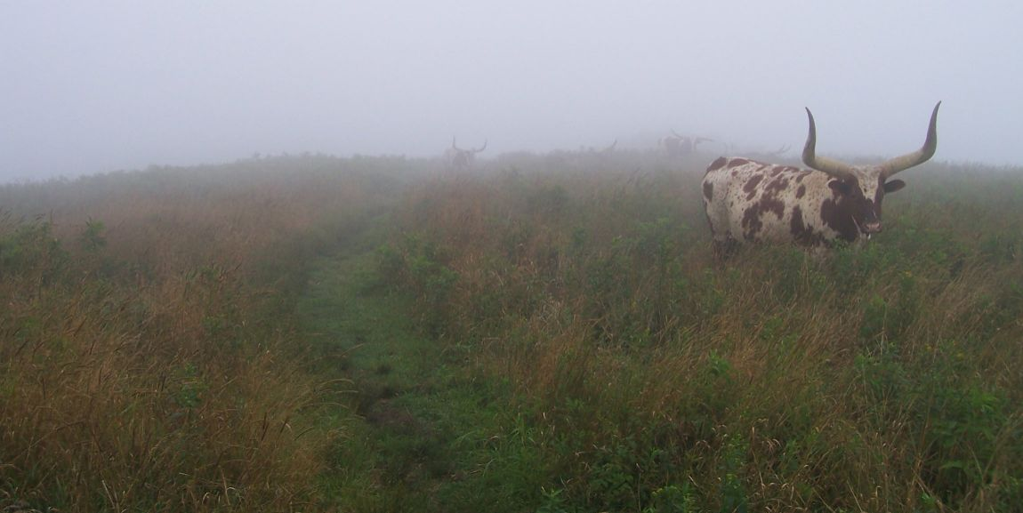 A herd of longhorn cows greeted us on the trail